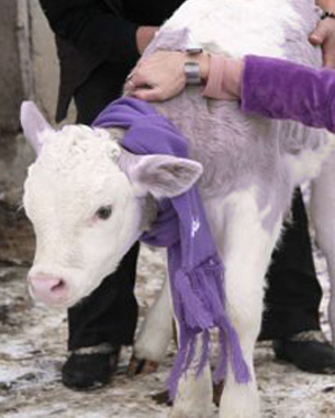 Milka Brand Real Purple Cow