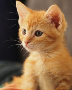 how much does it cost to get a male cat fixed